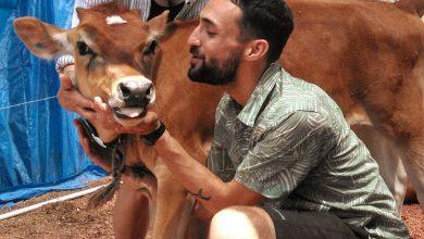 """الأمريكان يحاولون التغلب على وحدة واكتئاب الكورونا بـ """"عناق الأبقار"""""""