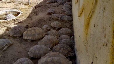 حملة حكومية مصرية تنقذ عشرات الحيوانات البرية المملوكة بشكل غير قانوني_الديرة نيوز