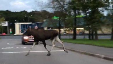 """شاهد.. مشهد نادر لـ""""حيوان الإيل"""" يتجول في شوارع موسكو._الديرة نيوز"""